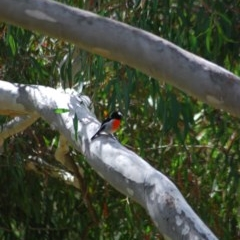Petroica boodang (Scarlet Robin) at Wamboin, NSW - 2 Apr 2011 by natureguy