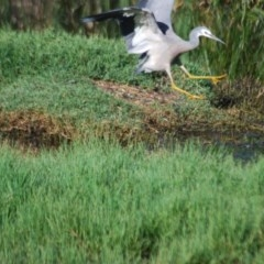 Egretta novaehollandiae (White-faced Heron) at Jerrabomberra Wetlands - 28 Jan 2012 by natureguy