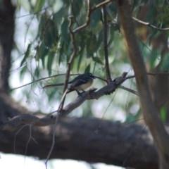 Rhipidura albiscapa (Grey Fantail) at Wamboin, NSW - 2 Apr 2011 by natureguy