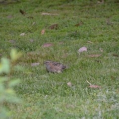 Turnix varius (Painted Buttonquail) at Wamboin, NSW - 31 Oct 2014 by natureguy