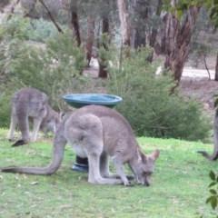 Macropus giganteus (Eastern Grey Kangaroo) at Wamboin, NSW - 2 Aug 2010 by natureguy