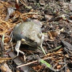 Limnodynastes dumerilii (Eastern Banjo Frog) at Wamboin, NSW - 4 Dec 2010 by natureguy