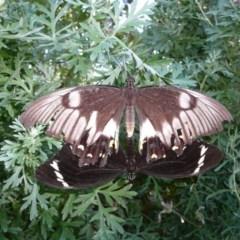 Papilio aegeus (Orchard Swallowtail) at Wamboin, NSW - 16 Jan 2011 by natureguy
