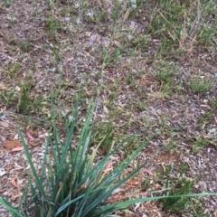 Dianella sp. aff. longifolia (Benambra) at Hughes, ACT - 28 Dec 2017