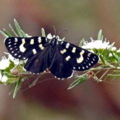 Phalaenoides tristifica (Willow-herb Day-moth) at Tidbinbilla Nature Reserve - 28 Dec 2017 by RodDeb