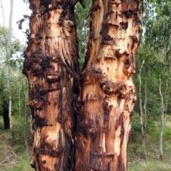 Eucalyptus rubida subsp. rubida (Candlebark) at Tidbinbilla Nature Reserve - 28 Dec 2017 by RodDeb