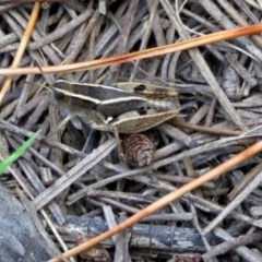 Phaulacridium vittatum (Wingless Grasshopper) at Fadden, ACT - 31 Dec 2017 by RodDeb