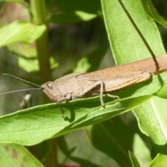 Goniaea sp. (genus) (A gumleaf grasshopper) at Tidbinbilla Nature Reserve - 26 Dec 2017 by Christine