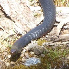 Pseudechis porphyriacus (Red-bellied Black Snake) at Tidbinbilla Nature Reserve - 26 Dec 2017 by Christine
