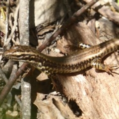 Eulamprus heatwolei (Yellow-bellied Water-skink) at Tidbinbilla Nature Reserve - 26 Dec 2017 by Christine