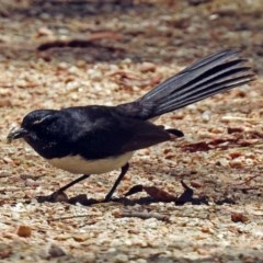 Rhipidura leucophrys (Willie Wagtail) at Jerrabomberra Wetlands - 1 Jan 2018 by RodDeb