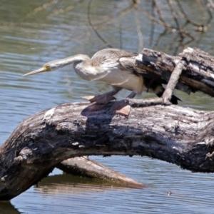 Anhinga novaehollandiae at Jerrabomberra Wetlands - 1 Jan 2018