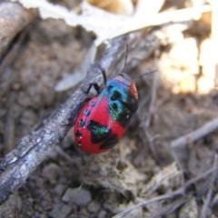 Choerocoris paganus (Ground shield bug) at Mount Taylor - 26 Dec 2017 by MatthewFrawley
