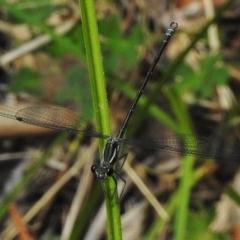 Austroargiolestes icteromelas (Common Flatwing) at Tidbinbilla Nature Reserve - 27 Dec 2017 by JohnBundock