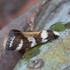 Isomoralla eriscota (A concealer moth) at Wandiyali-Environa Conservation Area - 24 Dec 2017 by Wandiyali