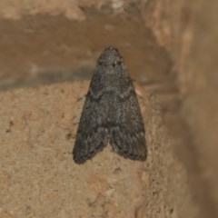 Heteromicta pachytera (Pyralid moth) at Higgins, ACT - 31 Dec 2017 by Alison Milton
