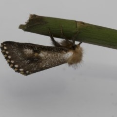 Epicoma contristis (Yellow-spotted Epicoma Moth) at Higgins, ACT - 28 Dec 2017 by Alison Milton