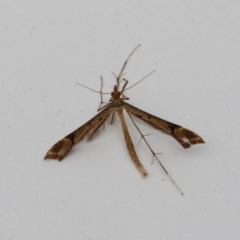 Sinpunctiptilia emissalis (A plume moth) at Higgins, ACT - 28 Dec 2017 by Alison Milton