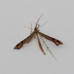 Sinpunctiptilia emissalis (A plume moth) at Higgins, ACT - 28 Dec 2017 by Alison Milton