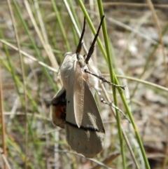 Gastrophora henricaria (Fallen-bark Looper, Beautiful Leaf Moth) at Aranda Bushland - 21 Dec 2017 by CathB