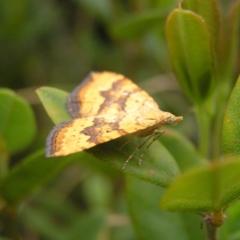 Chrysolarentia correlata at Namadgi National Park - 31 Dec 2017