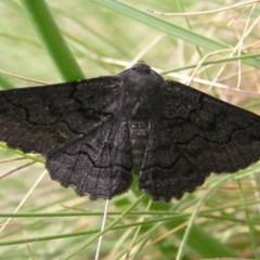 Melanodes anthracitaria (Black Geometrid) at Namadgi National Park - 30 Dec 2017 by MatthewFrawley