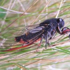 Yoyetta sp. (genus) (Firetail or Ambertail Cicada) at Namadgi National Park - 30 Dec 2017 by MatthewFrawley