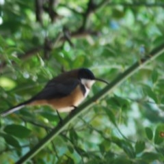 Acanthorhynchus tenuirostris (Eastern Spinebill) at Wamboin, NSW - 4 Apr 2011 by natureguy