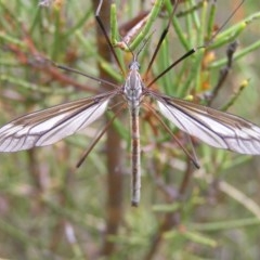 Tipulidae sp. (family) (Unidentified Crane Fly) at Namadgi National Park - 30 Dec 2017 by MatthewFrawley