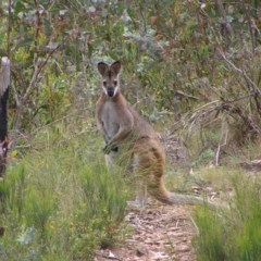 Macropus rufogriseus (Red-necked Wallaby) at Namadgi National Park - 31 Dec 2017 by MatthewFrawley