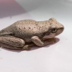 Litoria peronii (Peron's Tree-frog) at Tidbinbilla Nature Reserve - 2 Jan 2018 by SWishart