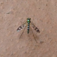 Austrosciapus connexus (Green long-legged fly) at Flynn, ACT - 1 Jan 2018 by Christine