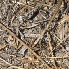 Austroicetes sp. (genus) at West Belconnen Pond - 1 Jan 2018
