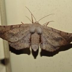 Circopetes obtusata (Grey Twisted Moth) at Macarthur, ACT - 1 Jan 2018 by RodDeb