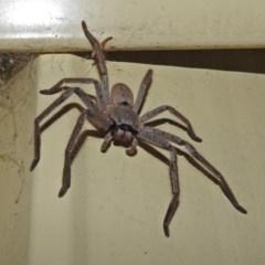 Isopeda sp. (genus) (Huntsman Spider) at Macarthur, ACT - 1 Jan 2018 by RodDeb