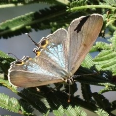 Jalmenus ictinus (Stencilled Hairstreak) at Red Hill Nature Reserve - 1 Jan 2018 by roymcd