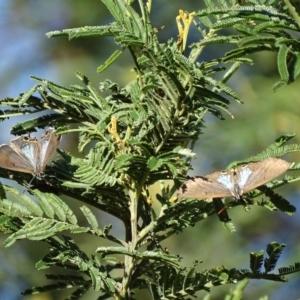 Jalmenus ictinus at Red Hill Nature Reserve - 2 Jan 2018