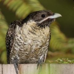 Eudynamys orientalis (Eastern Koel) at Merimbula, NSW - 2 Jan 2018 by Leo