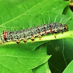 Phalaenoides glycinae (Grapevine Moth) at Hughes, ACT - 1 Jan 2018 by ruthkerruish