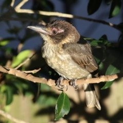 Cracticus torquatus (Grey Butcherbird) at Merimbula, NSW - 3 Jan 2018 by Leo