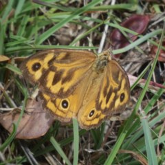 Heteronympha merope (Common Brown) at Wandiyali-Environa Conservation Area - 3 Jan 2018 by Wandiyali