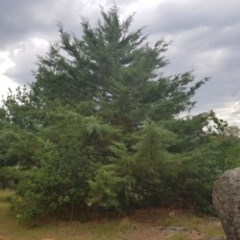 Hesperocyparis arizonica (Arizona Cypress) at Griffith Woodland - 3 Jan 2018 by ianandlibby1