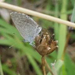 Zizina otis (Common Grass-blue) at Griffith Woodland - 3 Jan 2018 by ianandlibby1