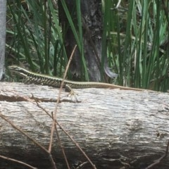 Eulamprus heatwolei (Yellow-bellied Water-skink) at Tidbinbilla Nature Reserve - 3 Jan 2018 by Deanoe