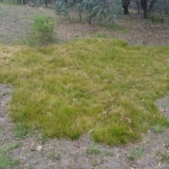 Carex sp. (A sedge) at Bruce, ACT - 3 Jan 2018 by michelle.nairn