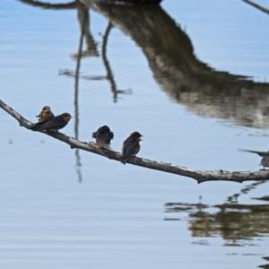 Hirundo neoxena at Jerrabomberra Wetlands - 5 Jan 2018