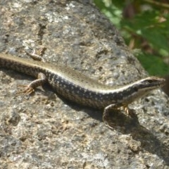 Eulamprus heatwolei (Yellow-bellied Water-skink) at Namadgi National Park - 3 Jan 2018 by Christine