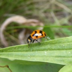 Coccinella transversalis (Transverse Ladybird) at Namadgi National Park - 3 Jan 2018 by Christine