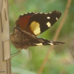 Vanessa itea (Yellow Admiral) at Namadgi National Park - 3 Jan 2018 by Christine