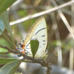 Jalmenus evagoras (Imperial Hairstreak) at Namadgi National Park - 3 Jan 2018 by Christine